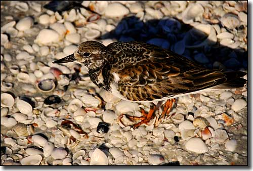 A ruddy turnstone among the shells at Cayo Costa State Park