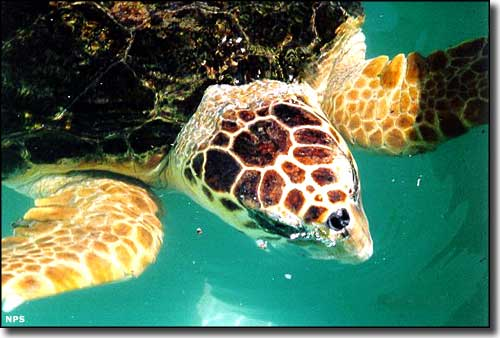 A Loggerhead turtle in the water