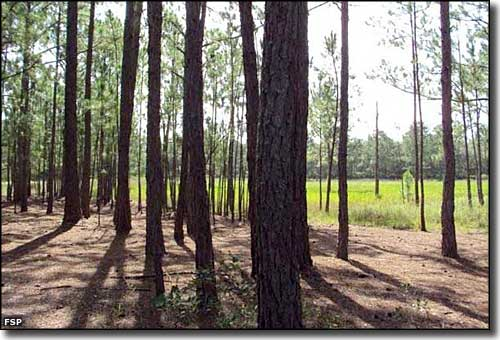 Loblolly pines at Dunns Creek State Park