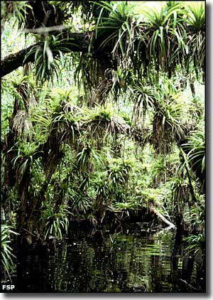 Looking at the tree canopy over a stream at Fakahatchee Strand Preserve State Park