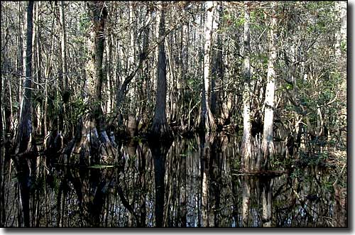 the cypress swamp at highlands hammock state park highlands hammock state park   florida state parks  rh   thearmchairexplorer