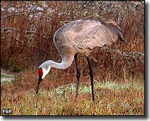 A sandhill crane feeding at Rock Springs Run State Reserve