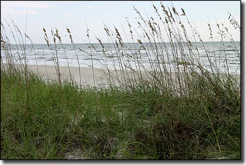 Sea oats growing along the sand dunes