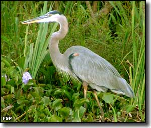 A blue heron at Three Rivers State Park