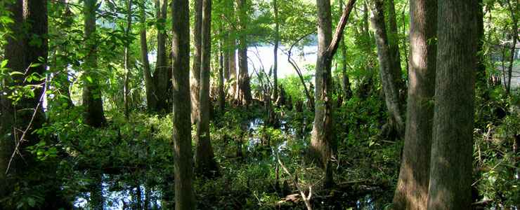 Cypress swamp in the Mud Swamp-New River Wilderness