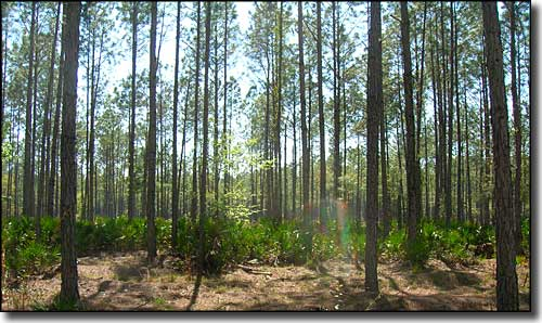 Pine flatwoods at Bradwell Bay Wilderness