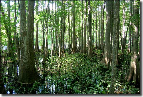 Cypress swamp at Mud Swamp-New River Wilderness