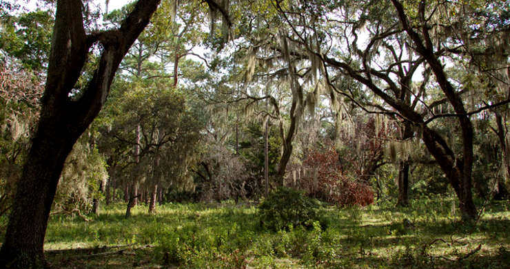 The maritime forest at Cumberland Island National Seashore