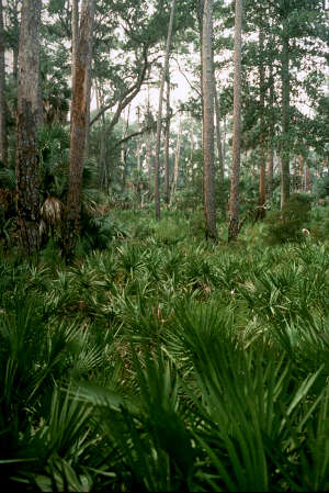 The palmetto understory on Blackbeard Island