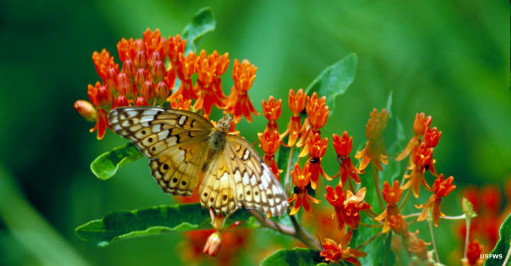 A variegated fritillary on butterfly weed at Piedmont National Wildlife Refuge