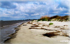 Sand dunes and sea grasses on a Wolf Island Beach