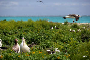 Birds at Midway Atoll