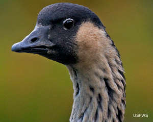 The endangered Hawaiian nene