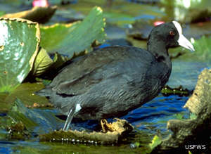 An endangered Hawaiian Coot at James Campbell National Wildlife Refuge