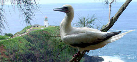A booby at Kilauea Point National Wildlife Refuge
