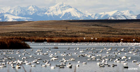 Snow and trumpeter swans on Big Pond