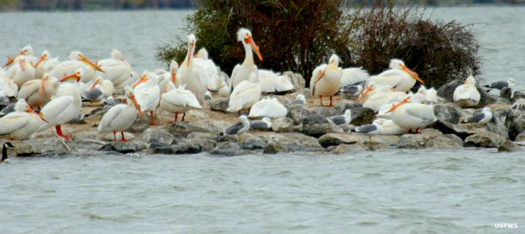 A white pelican colony on Minidoka National Wildlife Refuge