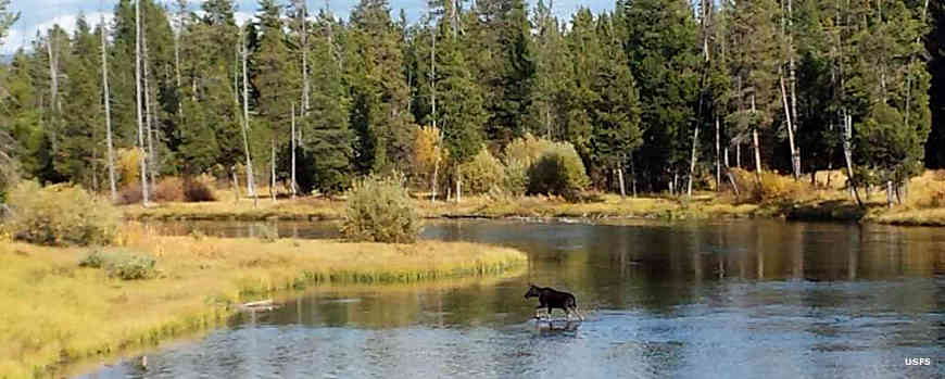 Moose crossing a river in Caribou-Targhee National Forest