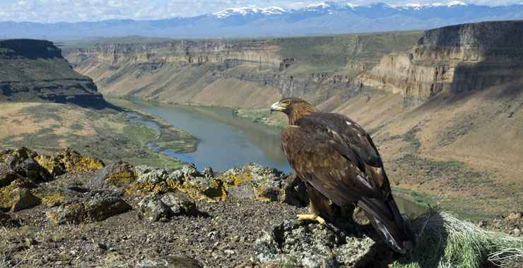 A Golden Eagle seen along the Western Heritage Historic Byway