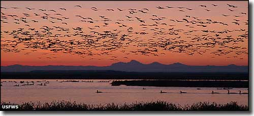 Snow geese in the air at Camas National Wildlife Refuge