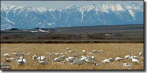 Tundra swans on a grain field at Camas National Wildlife Refuge