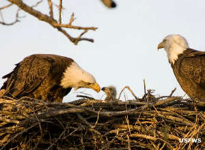A pair of eagles with a chick