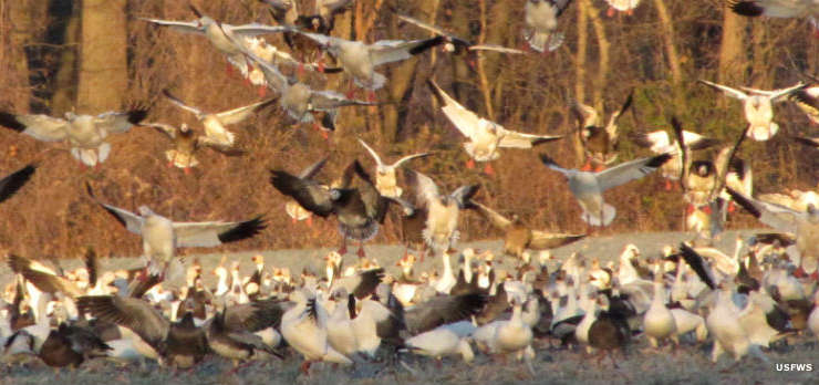 Snow geese at Two Rivers National Wildlife Refuge