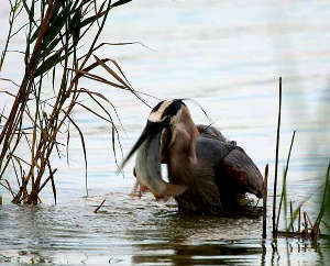 A heron swallowing a bass it just caught