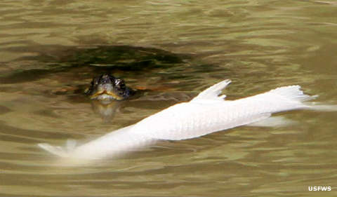 A snapping turtle and prey in the water