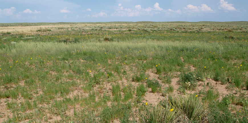 Typical grassland at Cimarron National Grassland