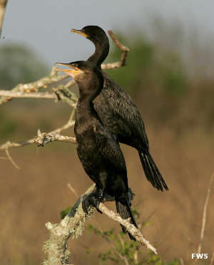 Double crested cormorants at Sabine National Wildlife Refuge