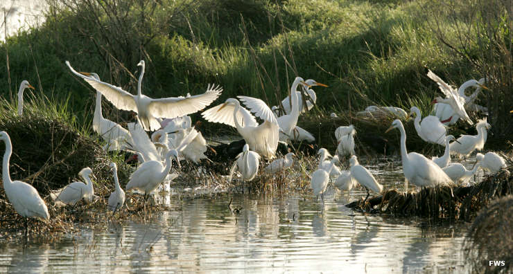 Great egrets at Sabine National Wildlife Refuge