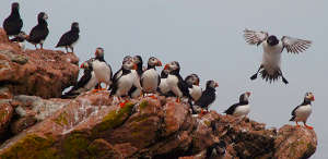 Atlantic Puffins at Petiti Manan National Wildlife Refuge