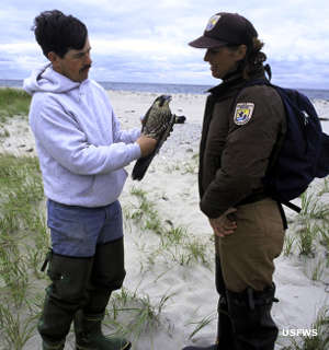 US Fish & Wildlife officers with a peregrine falcon at Monomoy National Wildlife Refuge