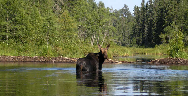 A moose in the water
