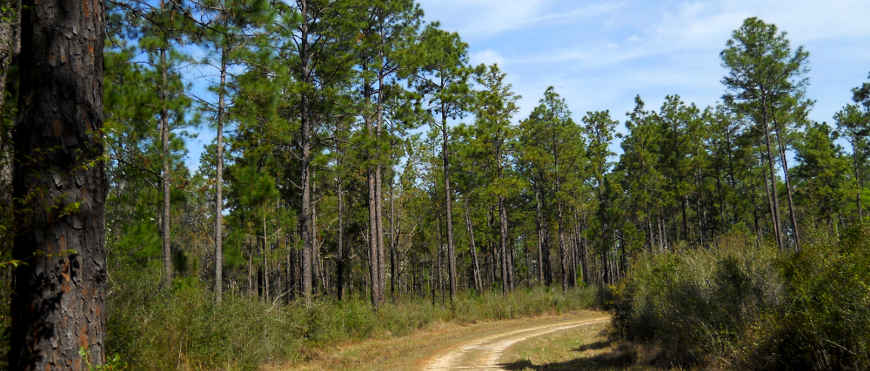 A view in DeSoto National Forest