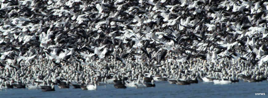 More flights of snow geese