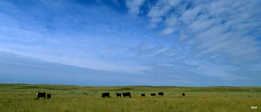 Grassland running off to the sky with cattle scattered across the landscape along the Big Sky Backcountry Byway