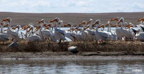 White pelicans on the refuge