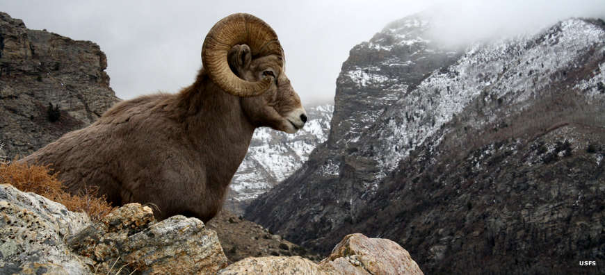 A Bighorn ram in the mountains of the Bob Marshall Wilderness