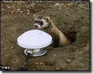 Black-footed ferret at UL Bend Wilderness
