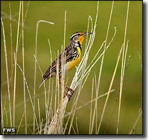 A Western meadowlark at Black Coulee National Wildlife Refuge