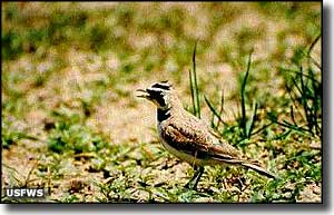 Horned lark at North Platte National Wildlife Refuge