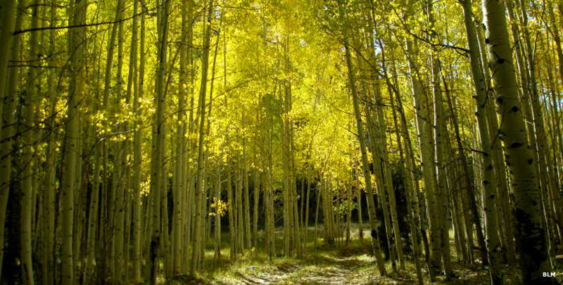 Beneath a canopy of aspens on a sunny day in Highland Ridge Wilderness