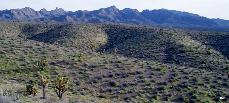 Joshua trees, sandy bajadas and a mountain backdrop in Mormon Mountains Wilderness