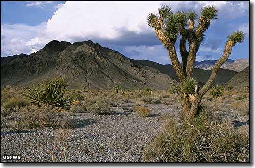 Joshua tree forest at Desert National Wildlife Refuge