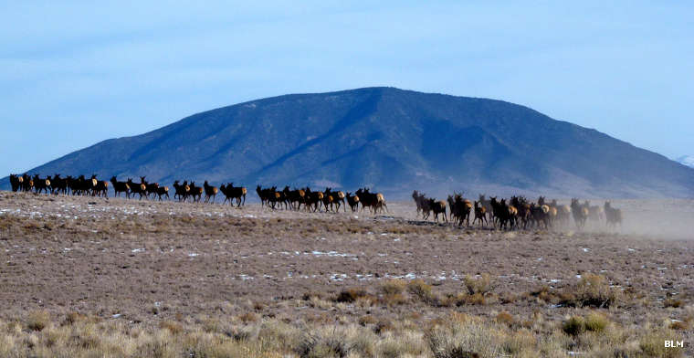 Elk herd running on Rio Grande del Norte National Monument