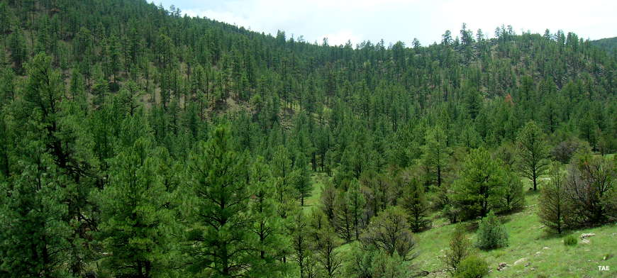 One of many areas of the forest treed with large stands of Ponderosa pine