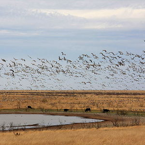 Sandhill cranes flying above Salt Lake at Grulla National Wildlife Refuge