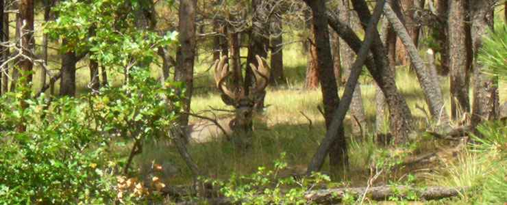 A mule deer buck in Withington Wilderness